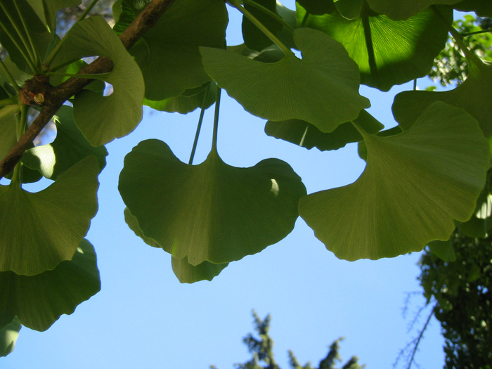 Gingo / Ginkgo