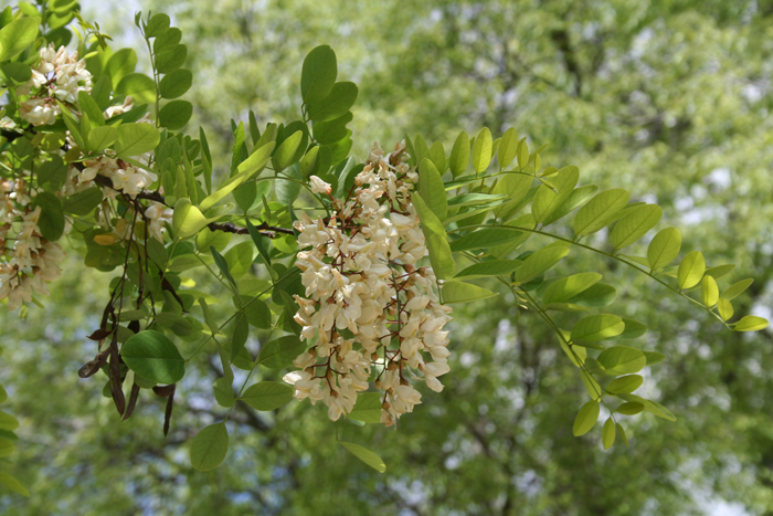 Robinia / Falsa acacia