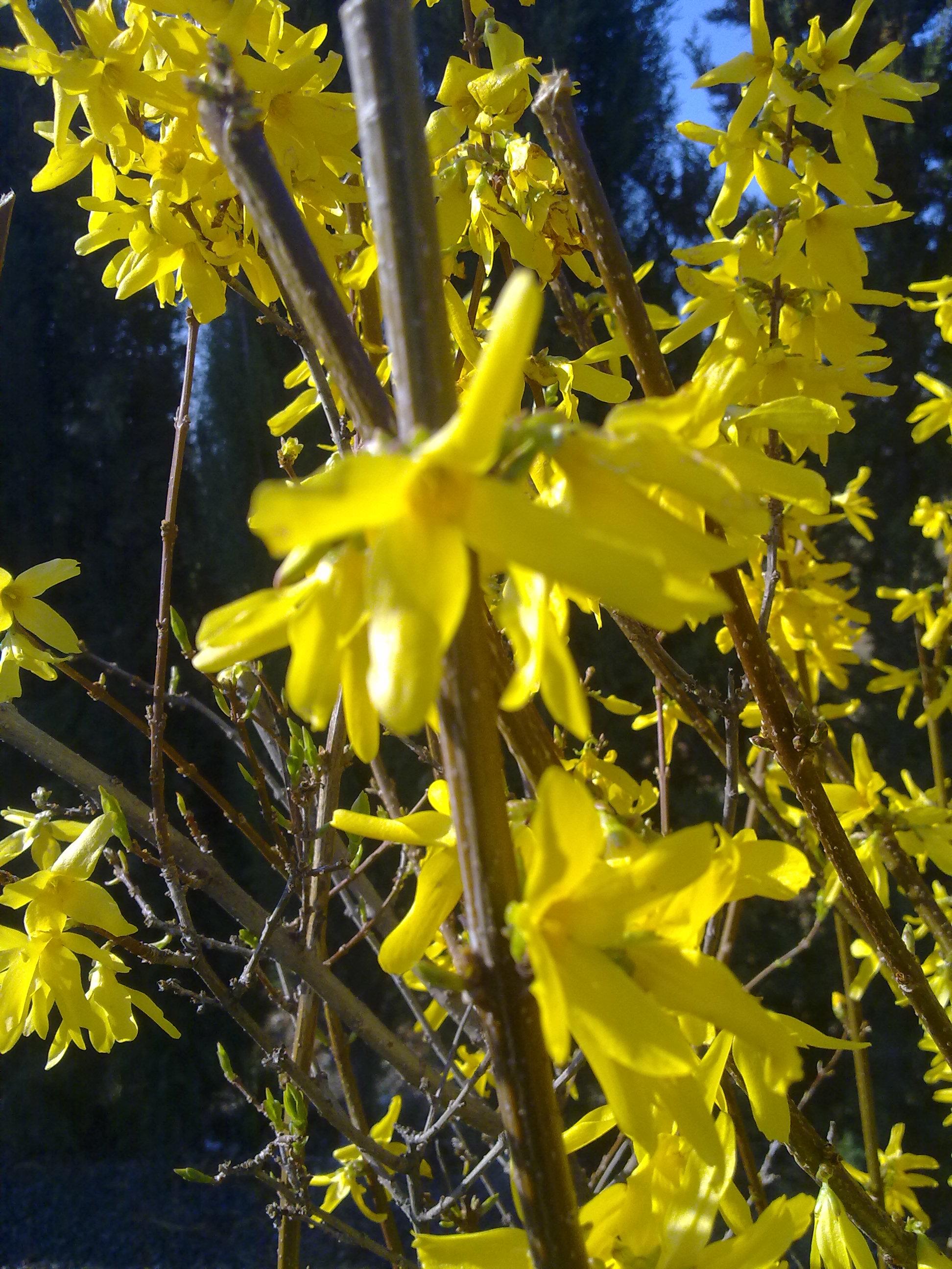 Forsythia x intermedia for Una planta ornamental