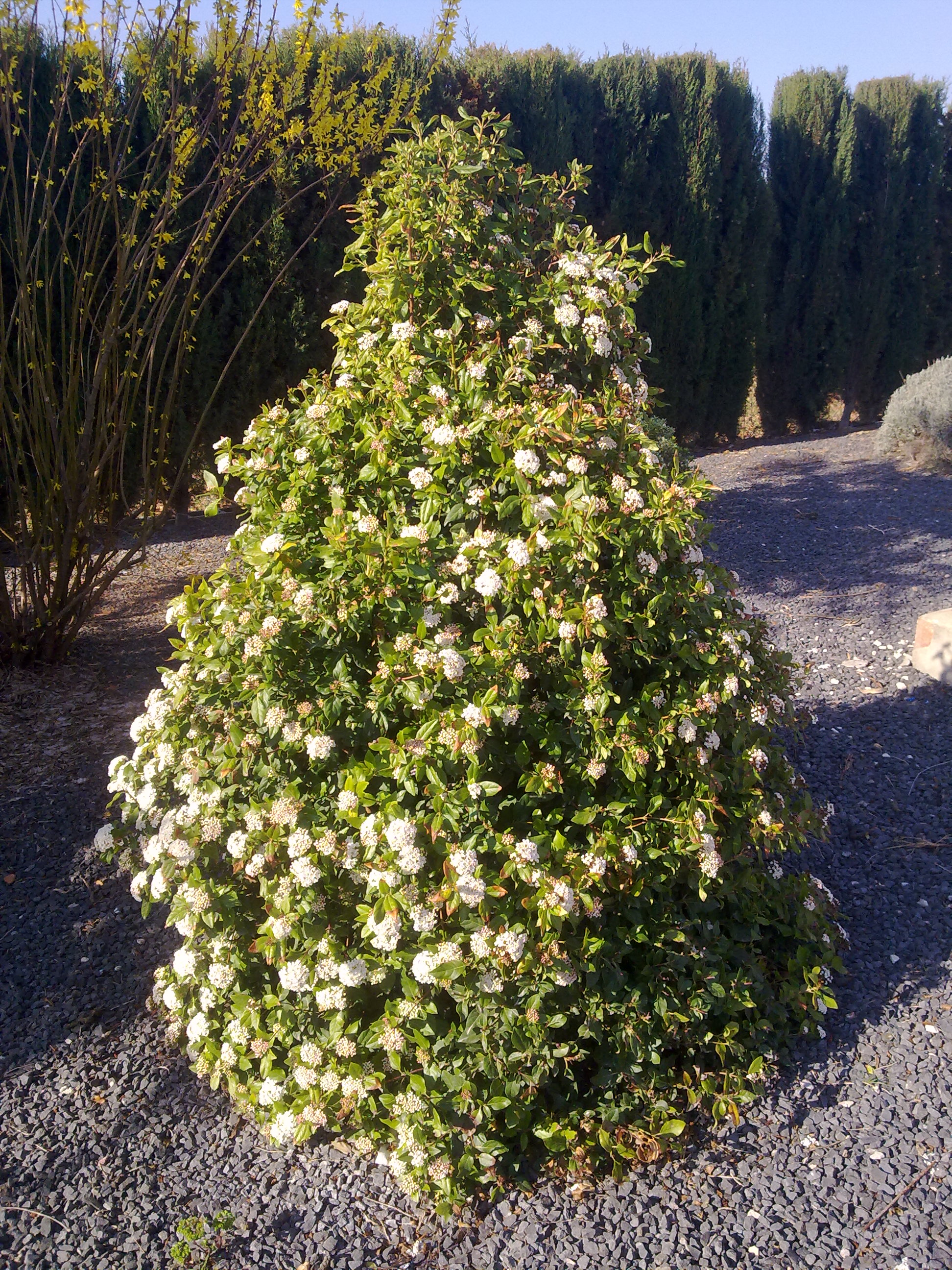 Durillo for Plantas ornamentales para parques