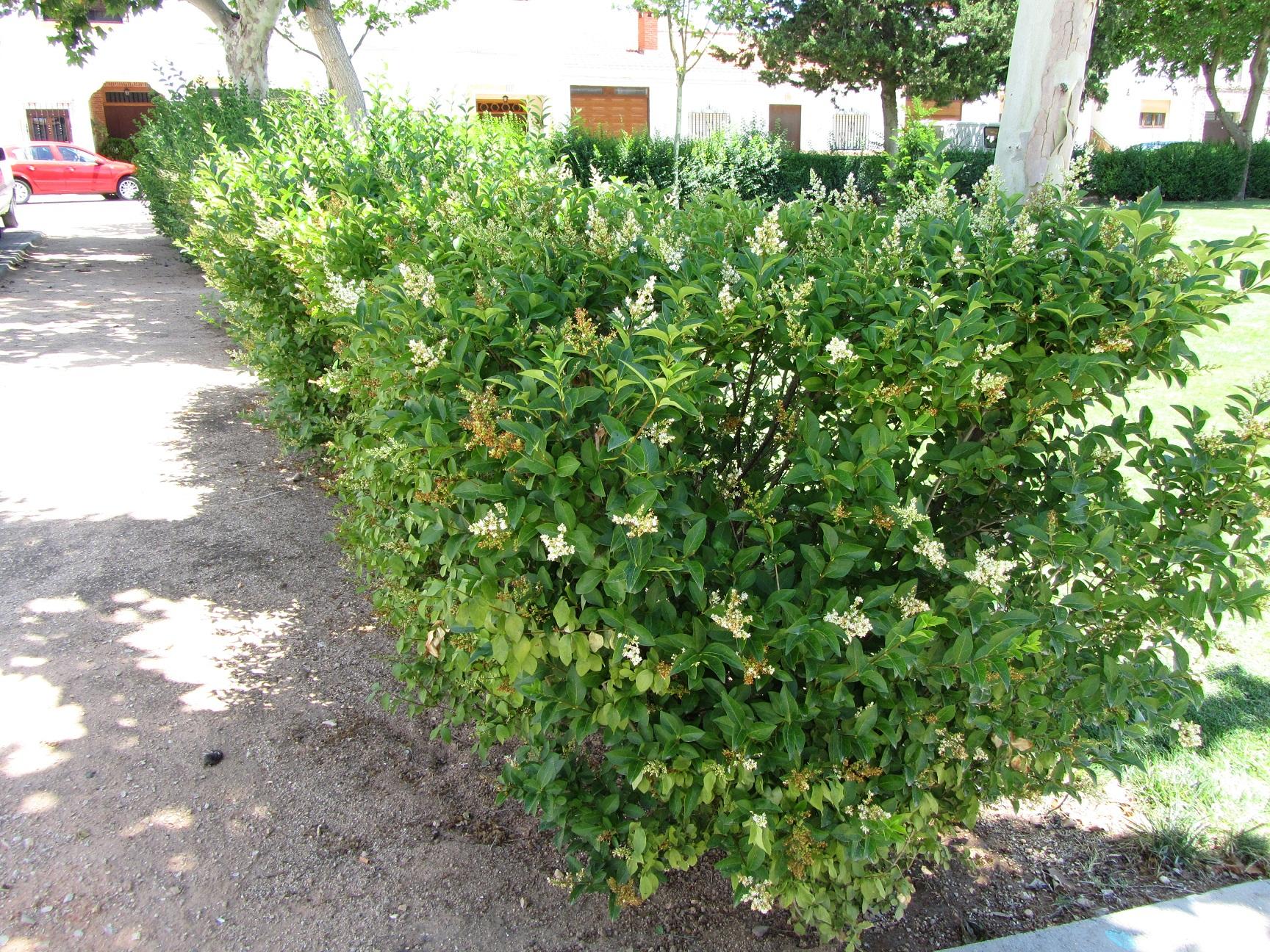 Aligustre de california - Plantas para hacer setos ...