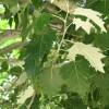 Álamo blanco detalle hojas