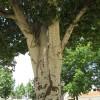 Álamo blanco detalle tronco