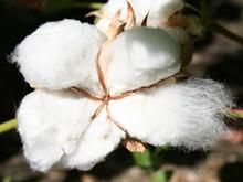 Algodón-Fruto maduro