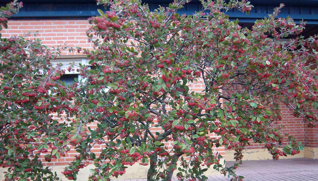Cotoneaster -  falsomembrillo2.jpg