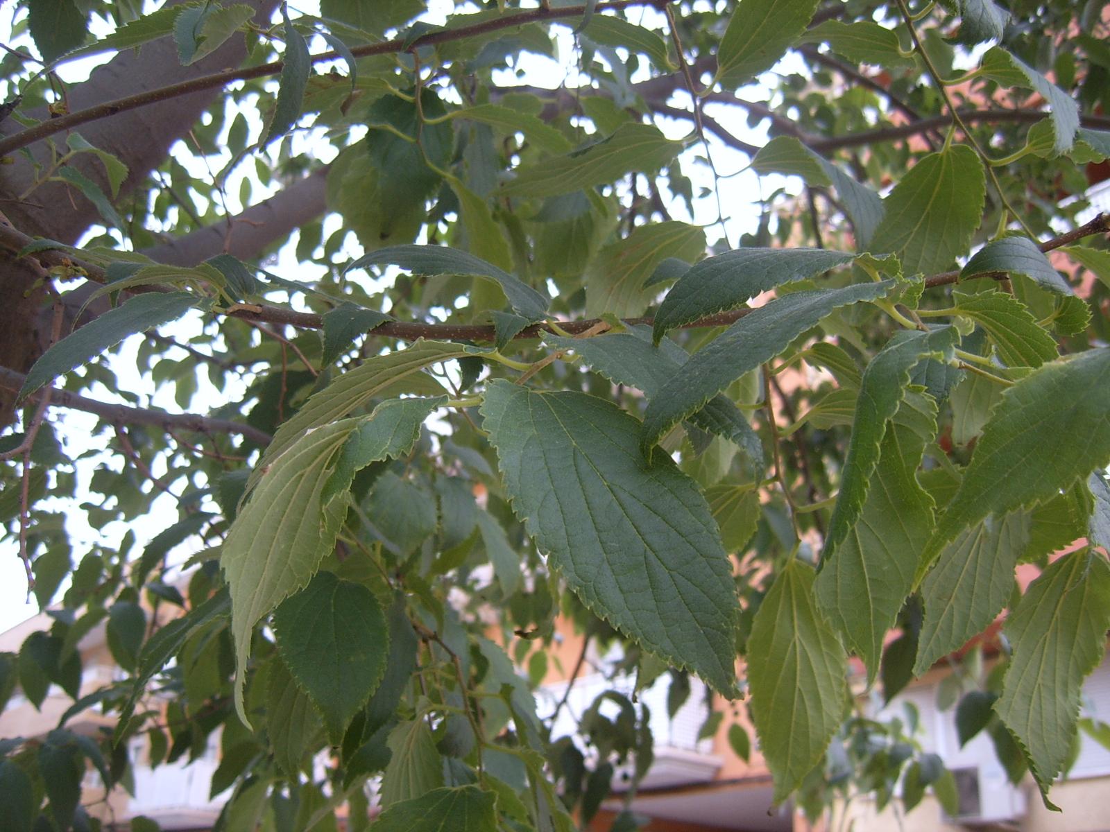 LIRONERO. ALMEZ. Celtis australis. 4. Hoja.jpg