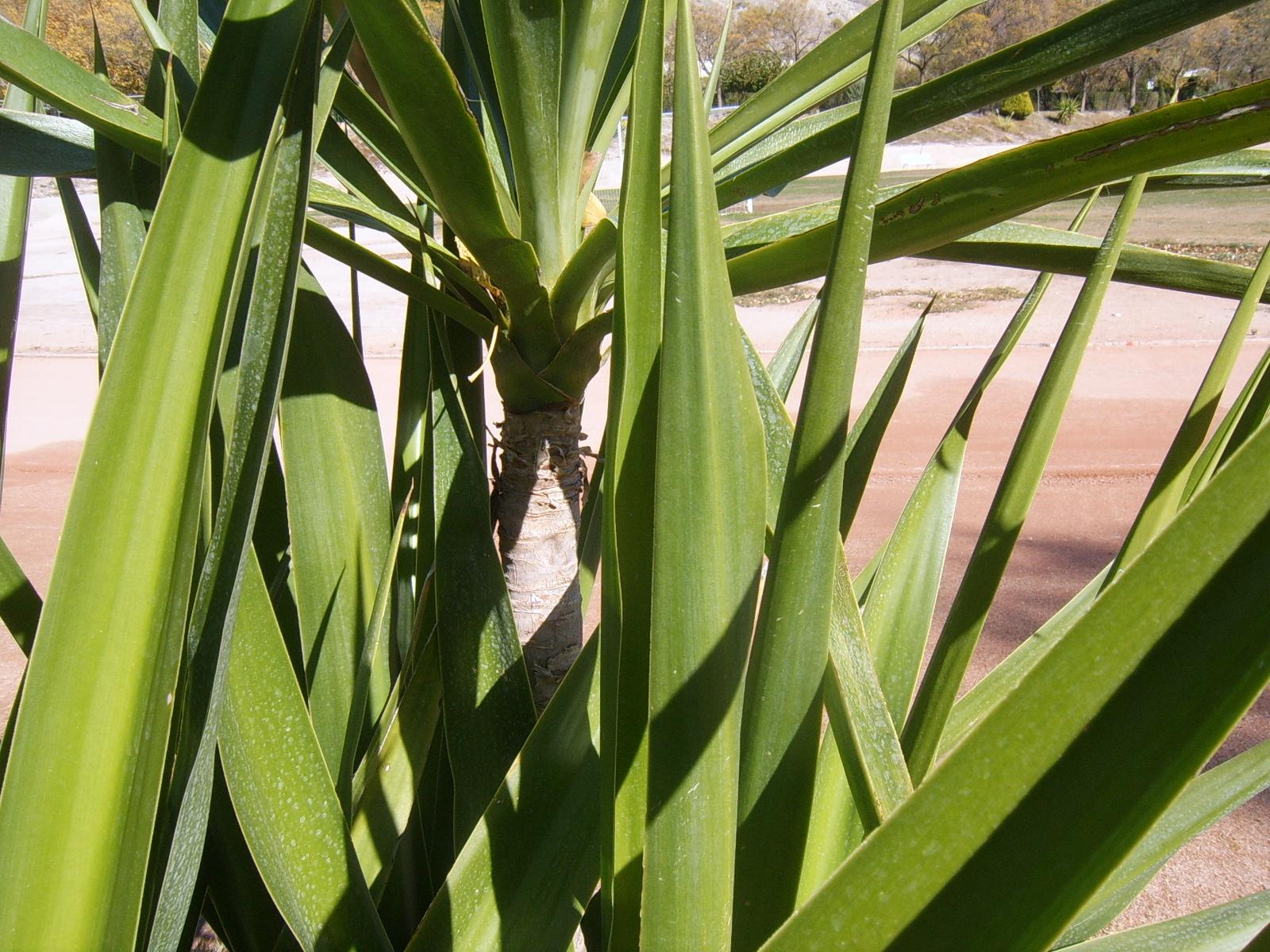 YUCA. Yucca elephantipes. 3. Hoja.JPG