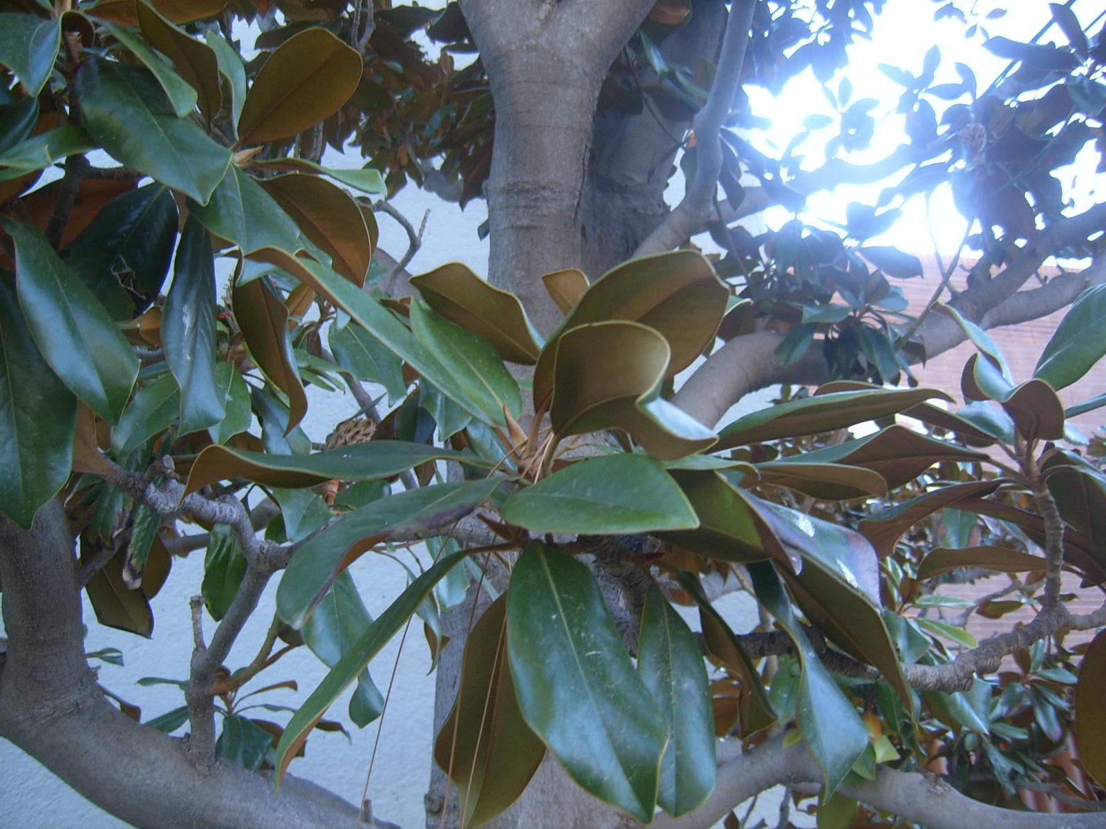 MAGNOLIA. Magnolia grandiflora. 3. Hoja.JPG