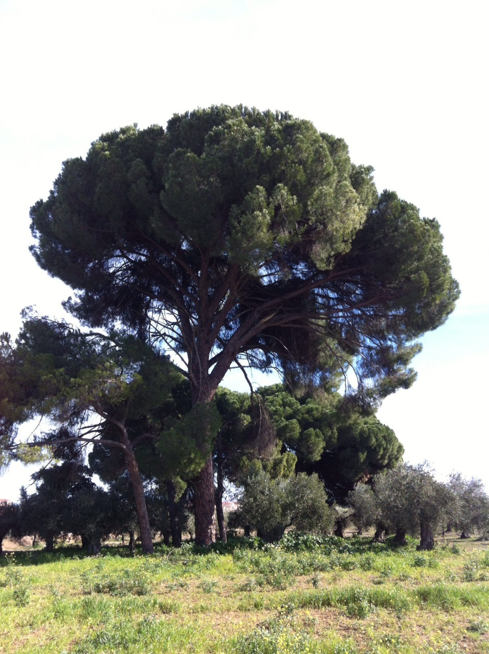 Pinus pinea.JPG
