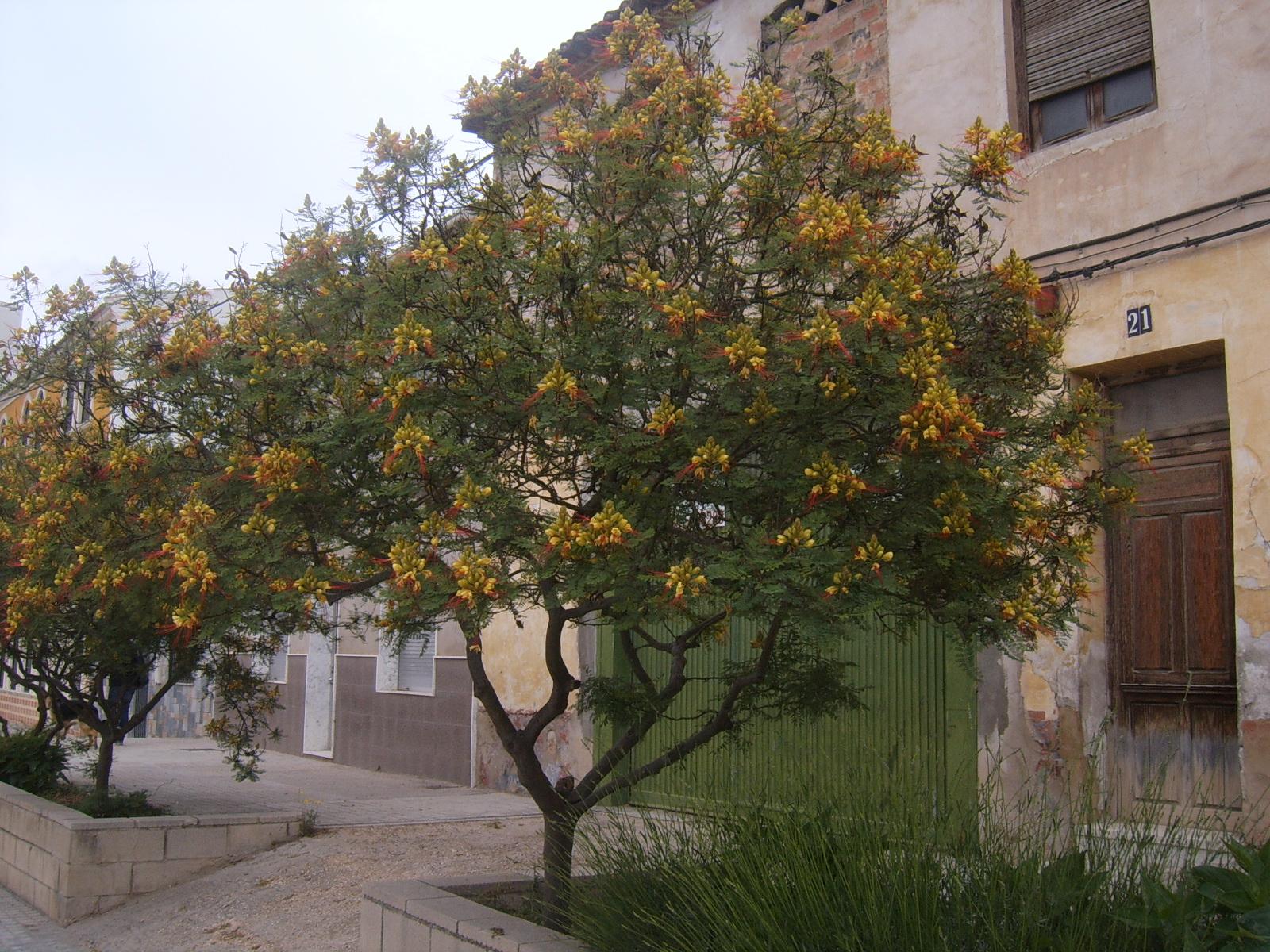 POINCIANA. CAESALPINIA.Caesalpinia gilliesii. 10.jpg