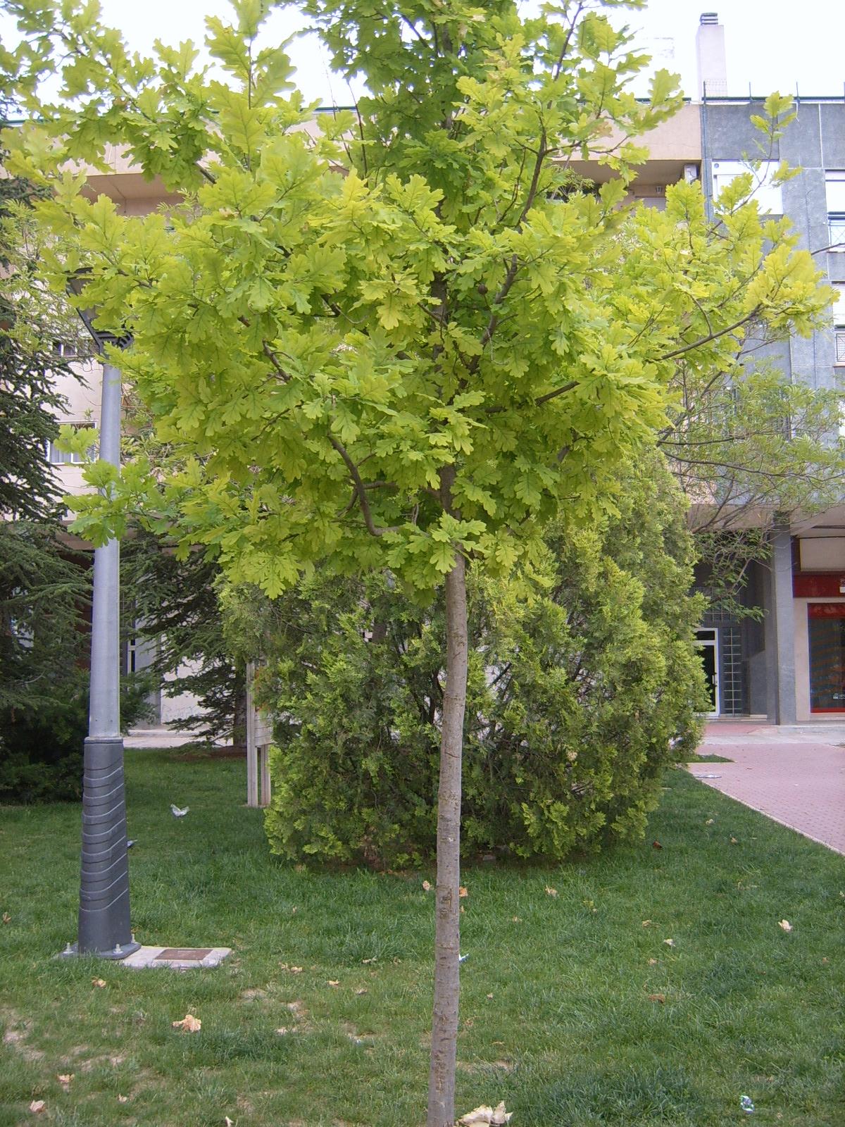 ROBLE TURCO. MAROJO. Quercus cerris L. 1.jpg