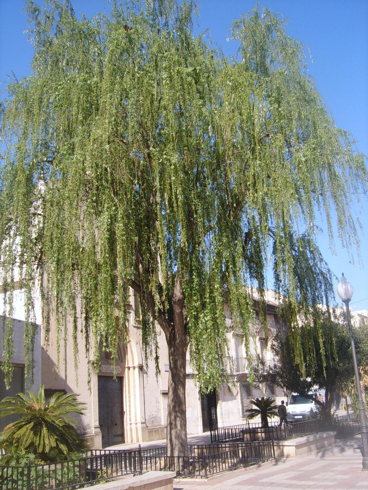 SAUCE LLORON. Salix babylonica L. 6.jpg