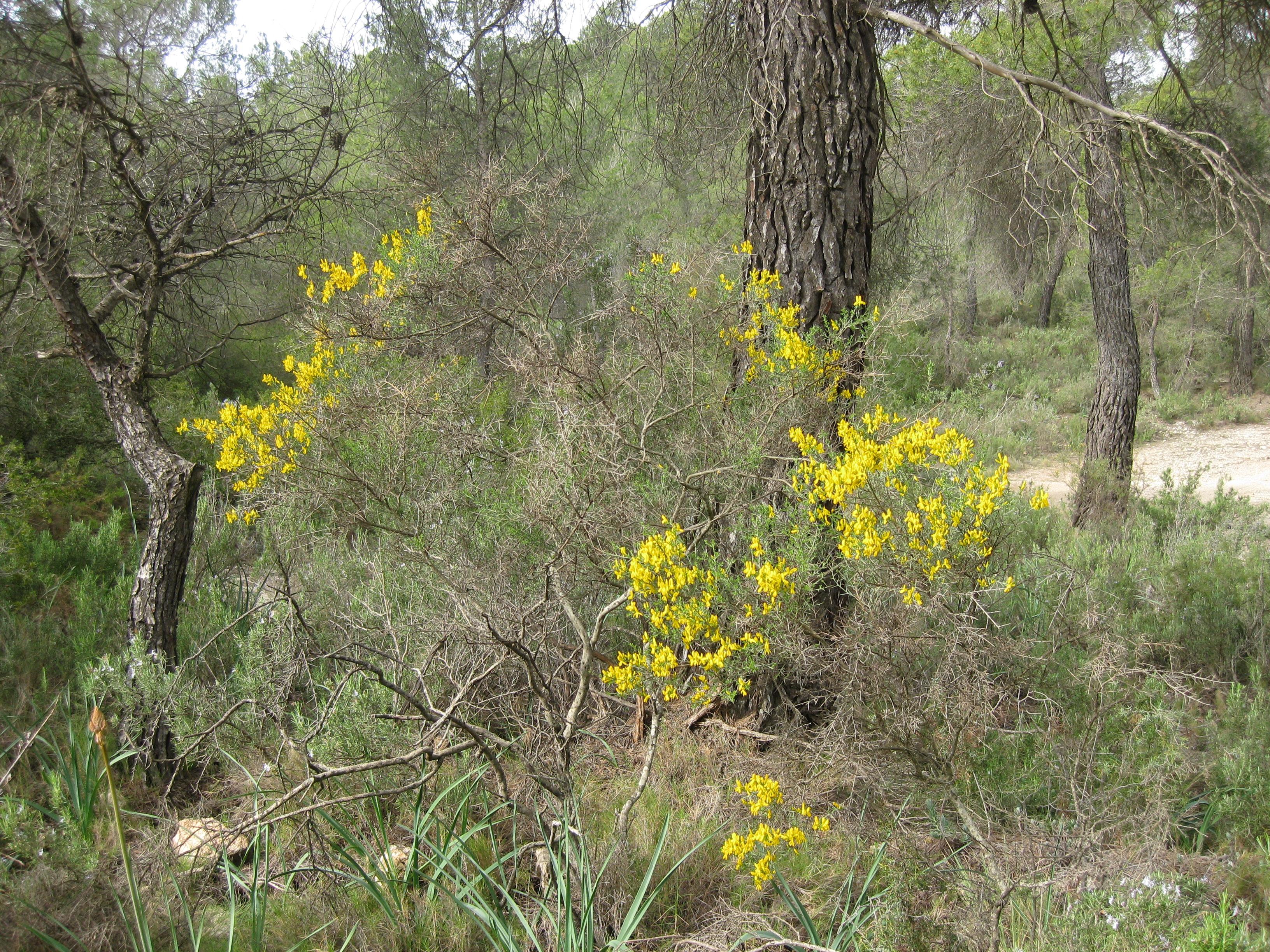 PLANTAS  Sierra Salinas (Pozuelo)  11-4-2013 002.jpg