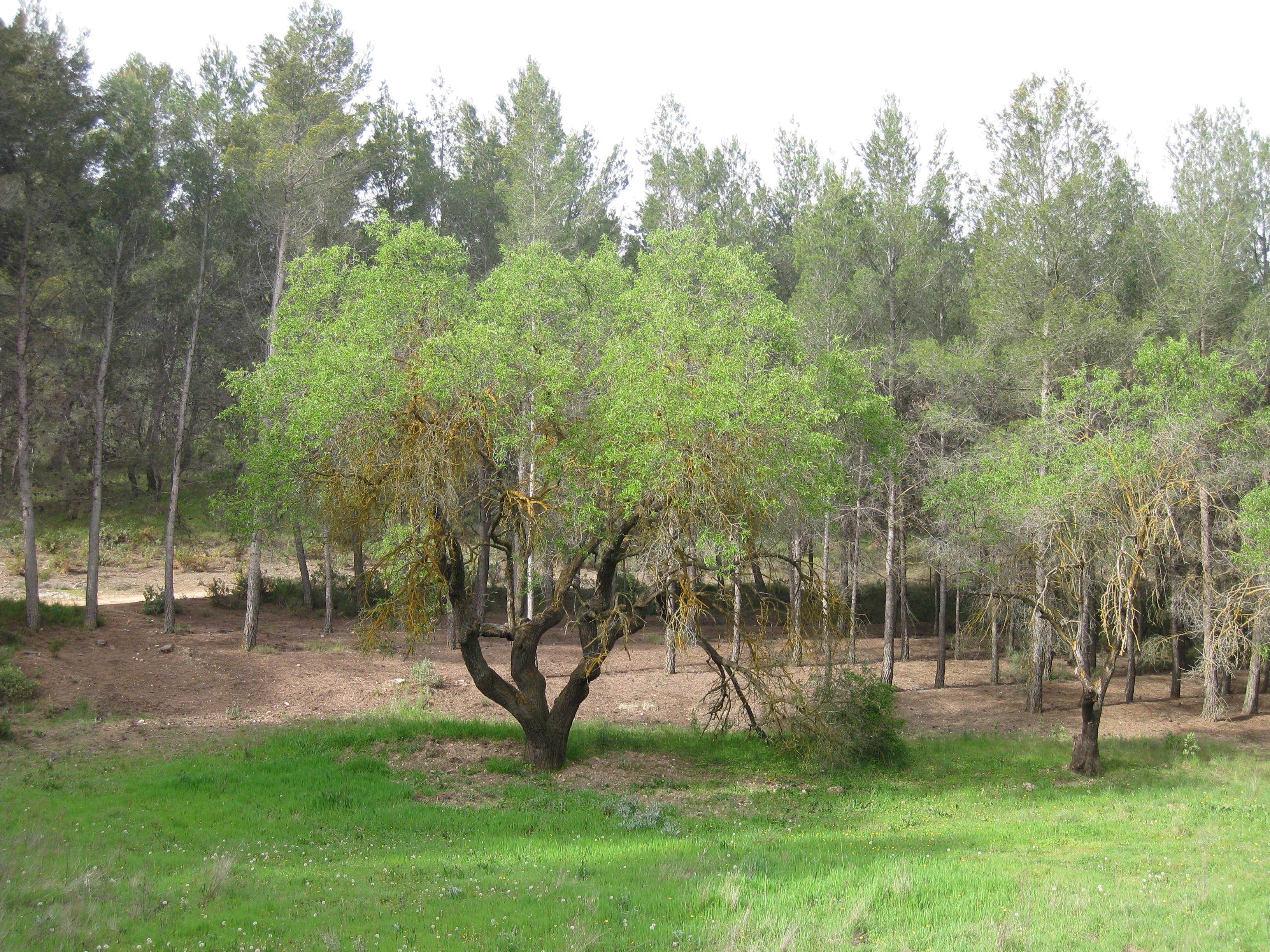 Almendro (Pozuelo) - Sierra Salinas  11-4-2013 010.jpg