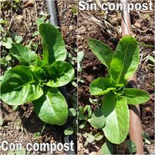 Lechuga con y sin compost 27-05 Destacada