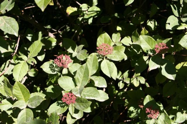 12-Viburnum-tinus-hojas-y-capullos-PH-MG_8549.jpg