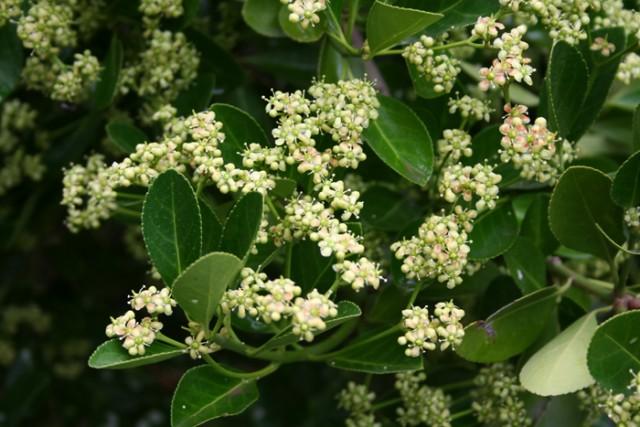 13-flores-Euonymus_japonicus_MER_160609_179.jpg