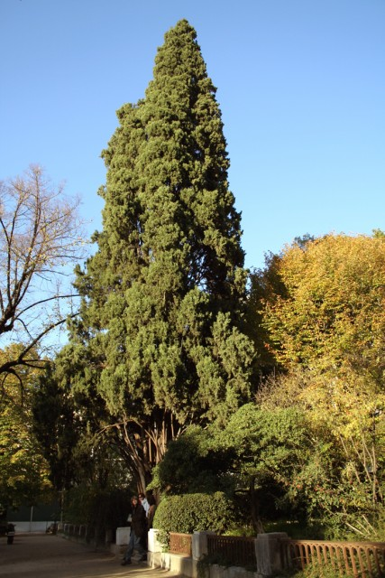 15-Cupressus-sempervirens-porte.jpg