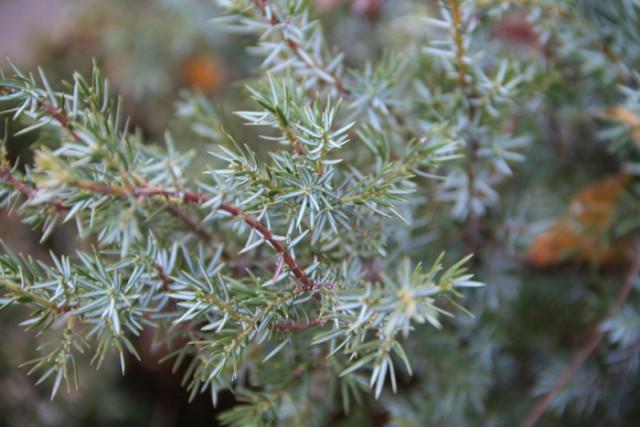17-Juniperus-comunis-PH.jpg