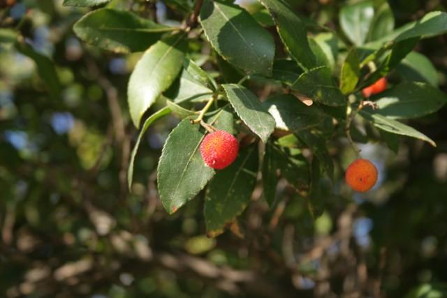 20-Arbutus-unedo-hoja-y-fruto-IFTG-Arbutus-unedo-1.jpg