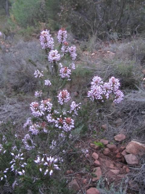21-Erica-multiflora-en-flor-PH-IMG_0664.jpg