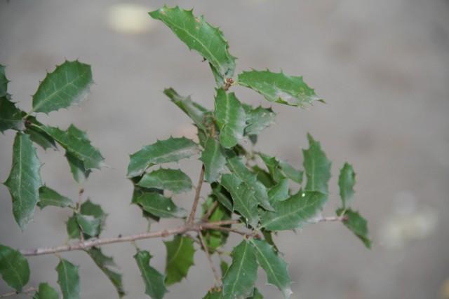 24-Quercus-coccifera-hojas-IMG_7284.jpg
