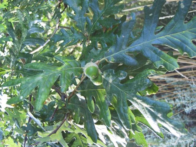 28-hojas-y-bellotas-Quercus-pyrenaicaIFTG-5.jpg