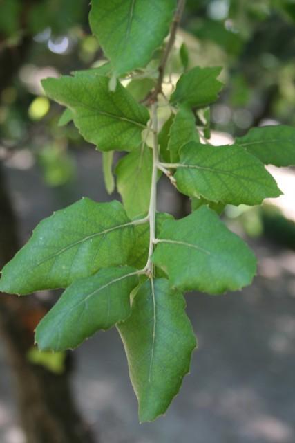 30-hojas-Quercus_suber_MER_300610_-140.jpg