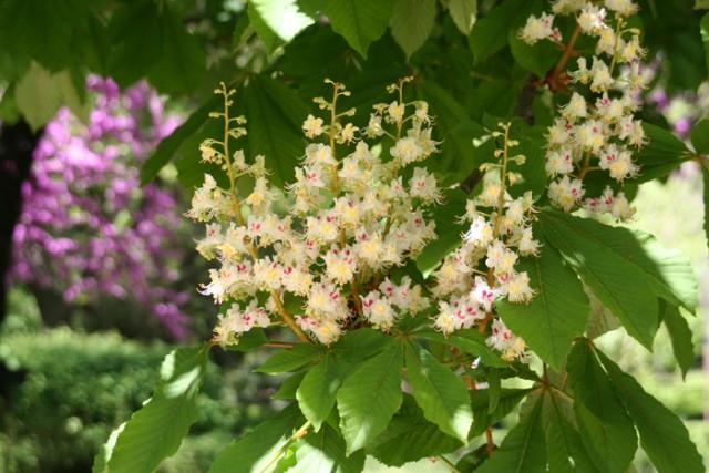 32-flores-Aesculum_hippocastanum_MER_12042011-350.jpg