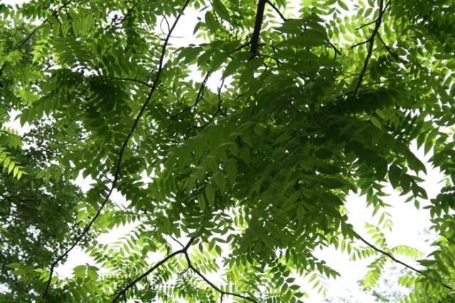 33-hojas-Juglans_nigra_MER_010610-108.jpg