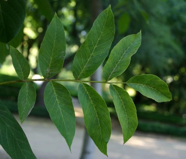 34-hojas-Juglans-regia.jpg