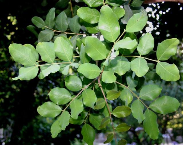 38-hojas-Ceratonia_siliqua_19-algarrobo.jpg