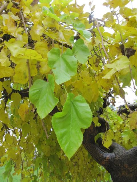 46-Morus-alba-hojas-PH-IMG_0321.jpg