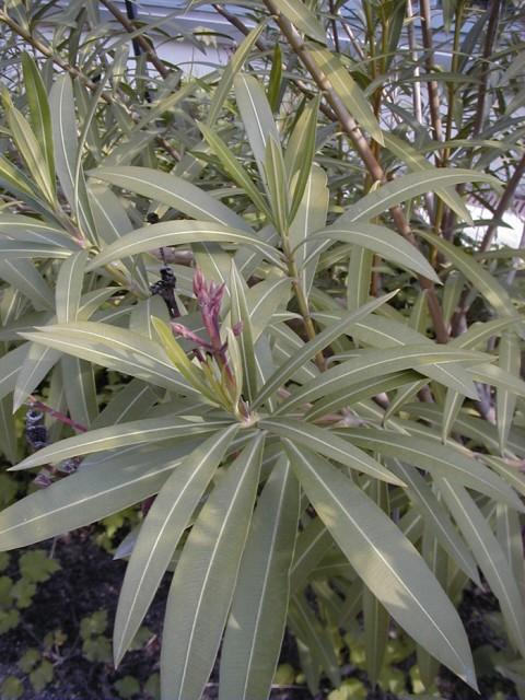 5-hojas-Nerium_oleander_AB_Esc7.jpg