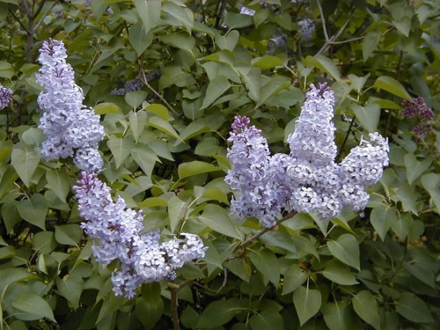 50-hojas-y-floresSyringa_vulgaris_AB_Esc7_6.jpg