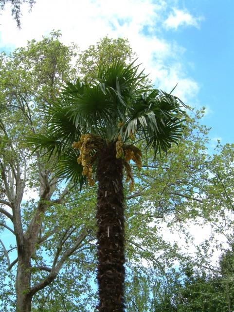 54-Trachycarpus-fortunei.jpg