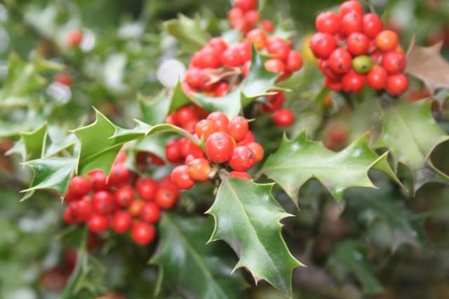 6-frutos-egg-ilex-aquifolium.jpg