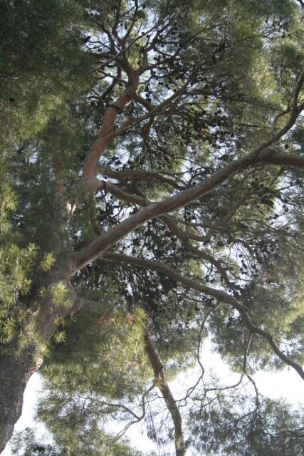 60-copa-IFTG-Pinus-halepensis-4.jpg