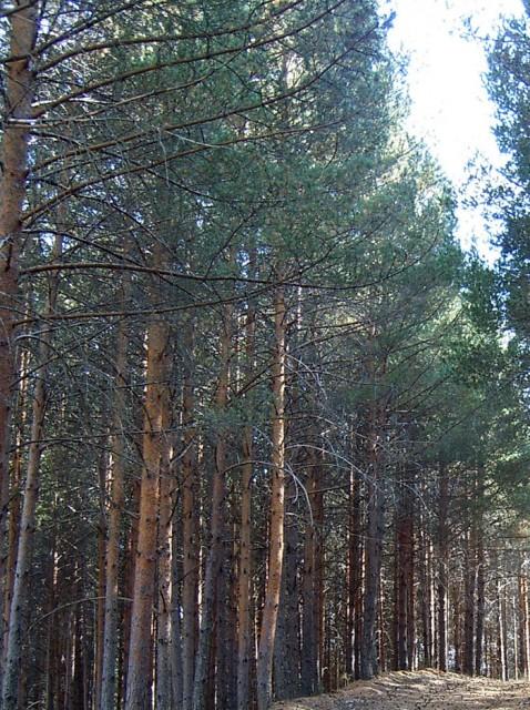 64_Pinus_sylvestris_porte_PH.jpg