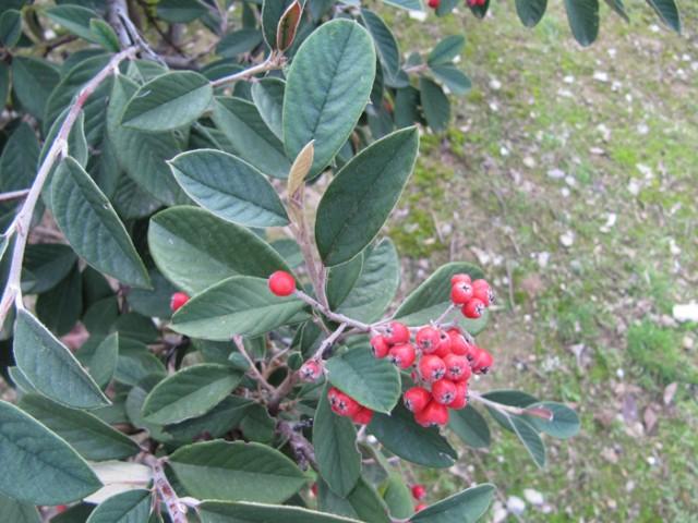 68-Cotoneaster-lacteus-hojas-y-frutos-IMG_1155.jpg