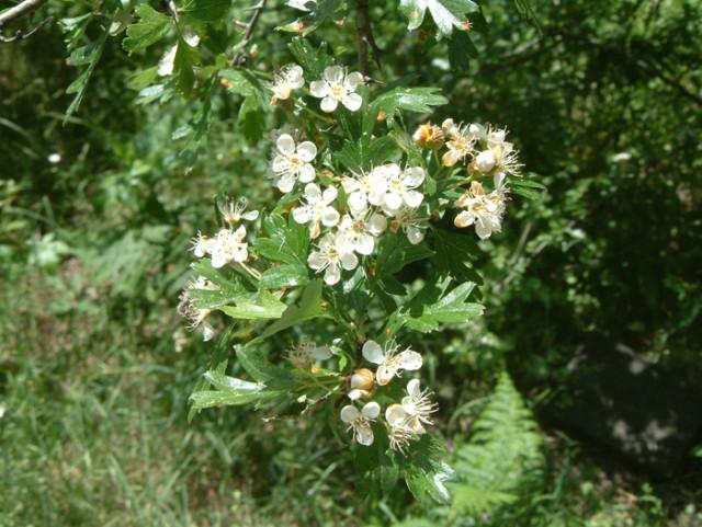 69-Crataegus-monogina-flor.jpg