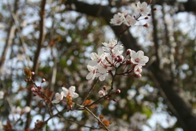 70-flores-Prunus_cerasifera_pissardii_MER_270209_2.jpg