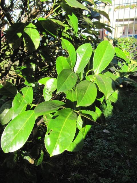 71-Prunus-laurocerasus-hojas-PH-IMG_1420.jpg