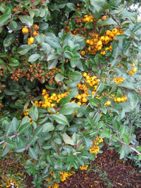 73-Pyracantha-coccinea-hojas-y-frutos-PH-IMG_0353.jpg