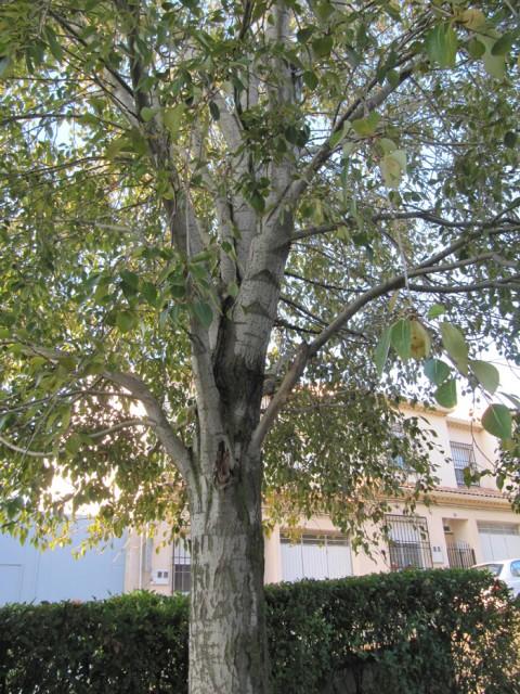 76-Populus-simonii-ramas-y-hojas-IMG_0397.jpg