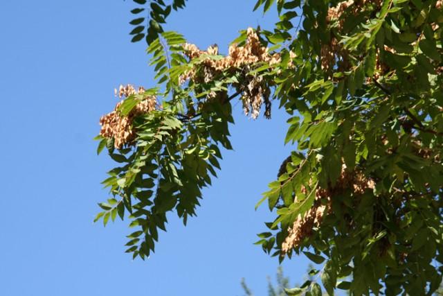 78-hojas-y-frutos-Ailanthus_altissima_MER_191010-79.jpg