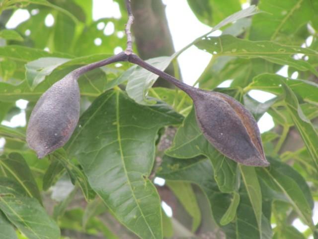 80-Brachychiton-acerifolius-hojas-y-frutos-PH-IMG_0464.jpg