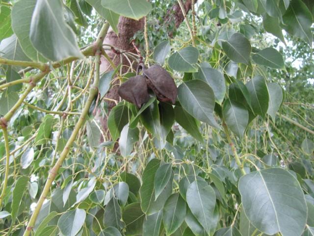 81-Brachychiton-populneus-hojas-y-frutos-IMG_0548.jpg