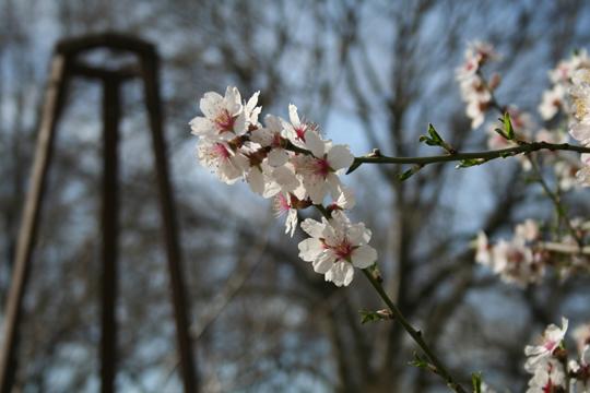 89-Prunus_dulcis_MER_270209_3.jpg