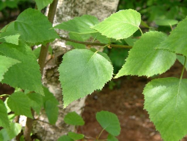9-betula-alba-abedul-hojas.jpg
